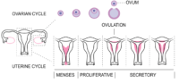 Ovulation calculator and the menstrual cycle.